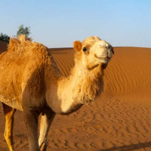 A friendly camel smiles in the Sahara Desert in Morocco.