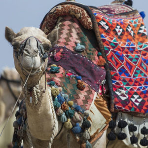 Camel trekking is a popular vacation option at Cherg Expéditions.