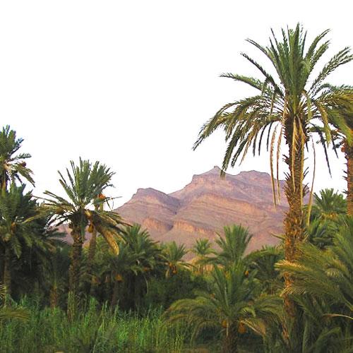 Une oasis de palme accrocheuse dans la vallée de Draa, au Maroc.