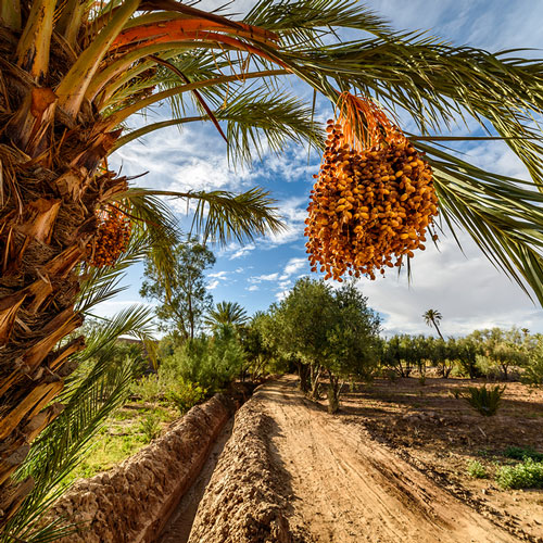 A view from the Skoura Valley palm grove.